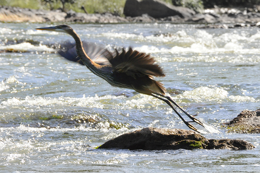blue_heron_taking_off.jpg